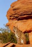 Bobcat sitting on red rocks Stock Photos