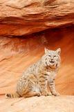 Bobcat sitting on red rocks Stock Images
