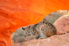 Bobcat sitting on red rocks Stock Image