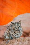 Bobcat sitting on red rocks Royalty Free Stock Image
