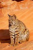 Bobcat sitting on red rocks Royalty Free Stock Photos