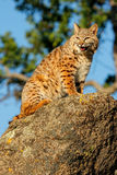 Bobcat sitting on a rock Stock Photo
