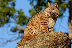 Bobcat sitting on a rock Royalty Free Stock Image