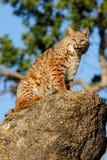 Bobcat sitting on a rock Royalty Free Stock Photos
