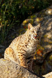 Bobcat sitting on a rock Stock Photography