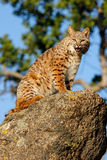 Bobcat sitting on a rock Royalty Free Stock Photos