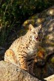 Bobcat sitting on a rock Stock Photography