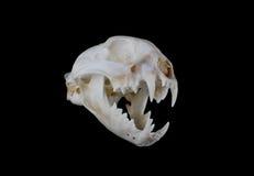 Bobcat Skull Stockbild