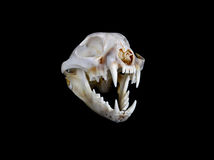 Bobcat Skull Royalty Free Stock Photography