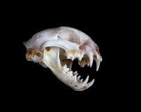 Bobcat Skull Stock Images