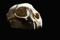 Bobcat Skull Profile Lizenzfreies Stockfoto