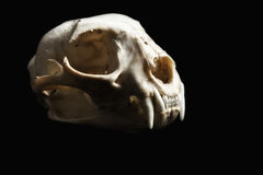 Bobcat Skull Profile. Bobcat skull isolated on black. Right side profile Royalty Free Stock Photo