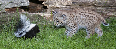 Bobcat and skunk Royalty Free Stock Image