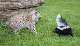 Bobcat and skunk Stock Photos