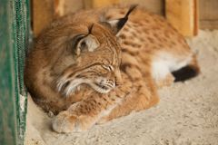 Bobcat sleeping Royalty Free Stock Photo