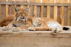 Bobcat sleeping Stock Photos