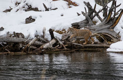 Bobcat sneaking along river edge Stock Image