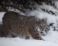 Bobcat in sneeuw Royalty-vrije Stock Fotografie
