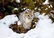 Bobcat In The Snow stock afbeelding