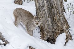 Bobcat In The Snow Fotos de archivo libres de regalías