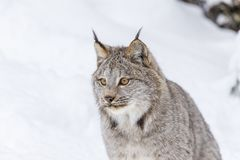 Bobcat In The Snow Foto de archivo