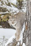 Bobcat In The Snow Imagenes de archivo