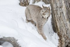 Bobcat In The Snow Immagine Stock