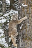 Bobcat In The Snow Foto de archivo libre de regalías