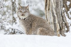 Bobcat In The Snow Imagens de Stock Royalty Free