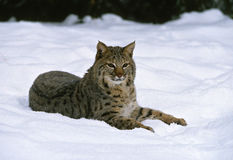 Bobcat in Snow