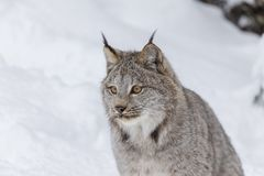Bobcat In The Snow Royalty-vrije Stock Foto