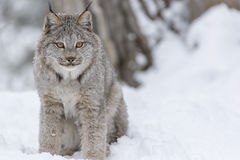 Bobcat In The Snow Stock Afbeeldingen