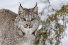 Bobcat In The Snow Royalty Free Stock Photos