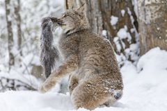Bobcat In The Snow Royalty Free Stock Photography