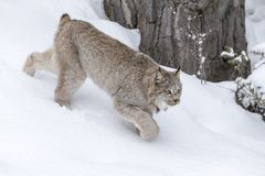 Bobcat In The Snow. A bobcat hunts for prey in a snowy forest habitat Royalty Free Stock Images