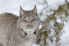 Bobcat In The Snow. A bobcat hunts for prey in a snowy forest habitat Royalty Free Stock Image