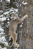 Bobcat In The Snow. A bobcat hunts for prey in a snowy forest habitat Stock Image