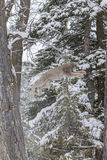 Bobcat In The Snow. A bobcat hunts for prey in a snowy forest habitat Royalty Free Stock Photo