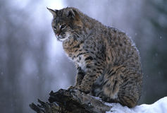 Bobcat in Snowstorm. A bobcat standing on a stump during a snowstorm Stock Image
