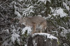 Bobcat in snowy forest. Side view of bobcat on tree stump in snowy forest, winter scene Stock Images