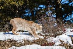 Bobcat snuffelt rond Royalty-vrije Stock Afbeelding