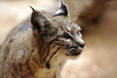 Bobcat - Soft Closeup Profile. Soft closeup profile of Bobcat listening and alert. Fine detail in eyes, face and ears. Soft brown background. Very interesting Royalty Free Stock Images