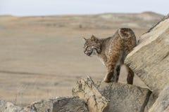 Bobcat som förbiser prärieutsikt Arkivbild
