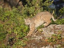 Bobcat som slår en posera på en vagga Royaltyfri Fotografi