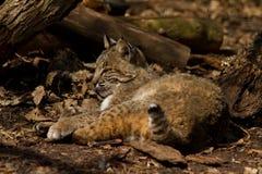 Bobcat som vilar i skog Royaltyfria Foton