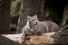 Bobcat som vilar på trät Royaltyfria Foton