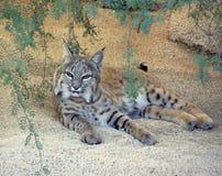 Bobcat in Sonoran Desert West of Tucson in Arizona. A bobcat relaxing in the Sonoran Desert west of Tucson in Arizona royalty free stock images