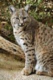 Bobcat Spots e patas fotografia de stock