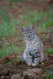 Bobcat in Spring. A Bobcat in the Spring with California Buttercups and Grass Stock Images