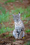 Bobcat in Spring. A Bobcat in the Spring with California Buttercups and Grass Royalty Free Stock Photo